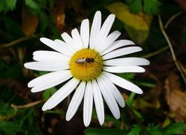 insect on white camomile closeup