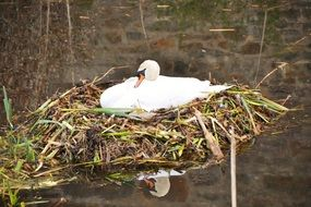white swan in a nest on the lake