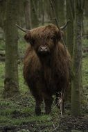 scottish highlander in the forest