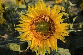 Landscape picture of summer Sunflower