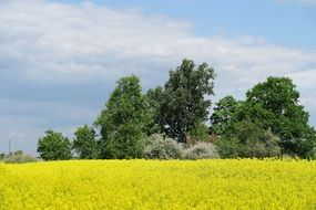 green trees at blooming Rapeseed field