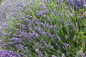 Picture of the Lavenders