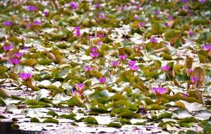 pond full of waterlilies