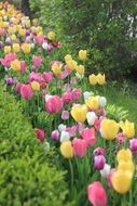 a row of tulips of different colors