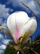 large pink-white magnolia flower on a clear sunny day