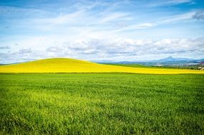 distant view of a bright yellow field on a hill