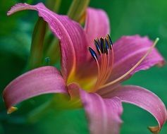 purple lily close-up