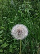Dandelion seed head among gress on Meadow