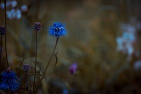 blue flower in the meadow at dusk