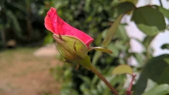 red rose bud nature flower