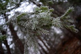 Frost Winter Forest Fir Needles