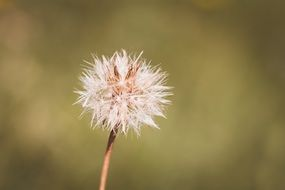 dandelion with pointed seeds close-up