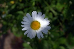 play of light and shadow on a white daisy