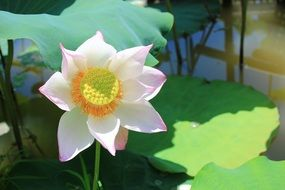 Picture of the lotus plant