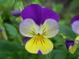 purple yellow pansy flower close-up