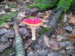 toxic fly agaric mushroom in a forest
