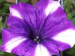 purple garden flower with white lines