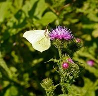 thistle blossom and a butterfly