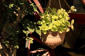light green ornamental plant in a hanging pot