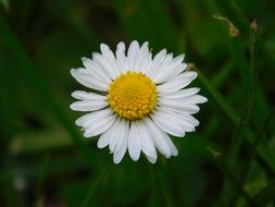 delicate daisy flower with white petals