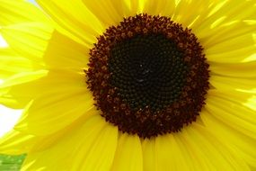 blooming bright yellow sunflower