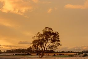 big lonely tree in countryside at Sunset