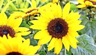 yellow Sunflower Flowers plants
