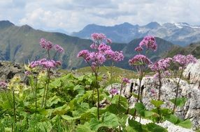 colorful flowers among the alps