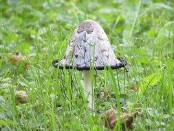grey mushroom in the grass