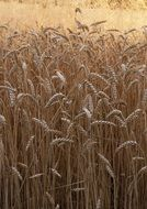 wheat corns