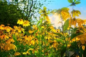 sun rays in Yellow Cone Flower field