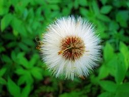 wild plant with fluffy seeds close-up