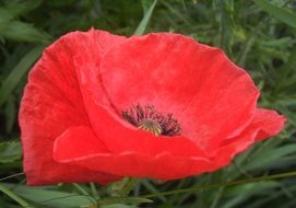 red Poppy Petals Nature Flower