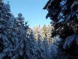 coniferous forest in the snow on a sunny day