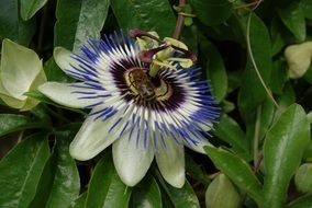 white passiflora flower on a green bush