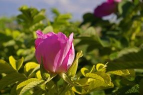 Wild Rose Baby in the sunshine
