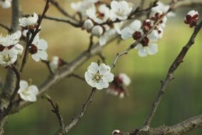 Aesthetic Apricot Blossom Bloom