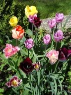 Flower Bed Tulips
