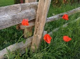 red Poppies near wooden Fence