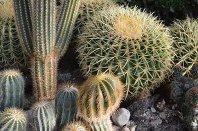 cacti of different shapes in the garden