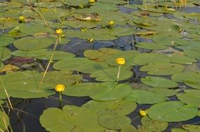 Water Lilies Aquatic Plants