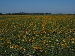 huge agricultural field of sunflowers