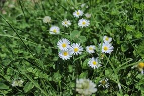 white daisies in tall green grass under the sun