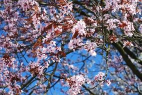 pink Cherry Blossom blue sky view