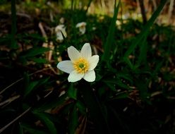 white wood anemone in spring
