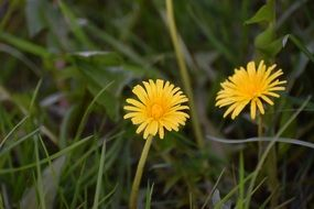 two yellow dandelions in tall grass close-up
