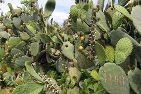 Cactus Prickly Pears Flowers