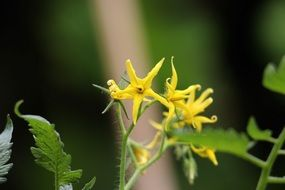 Yellow blooming tomato flowers