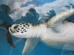 Sea turtles are swimming in Hawaii