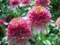 lush pink coneflower close-up